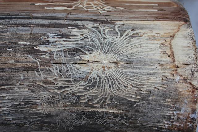 korniki w drewnie