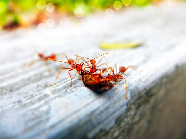 dezynsekcja mrówek